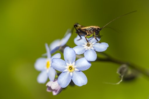 Insect, Grasshopper, Flower, Myosotis, Nature, Animal