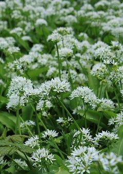 Garlic Chives, Flowers, White, Nature, Allium, Autumn