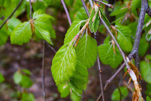 Beech, Fagus, Tree, Foliage, Branch, Forest, Clear