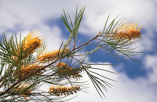 Grevillea, Flowers, Australian, Native, Garden, Nectar