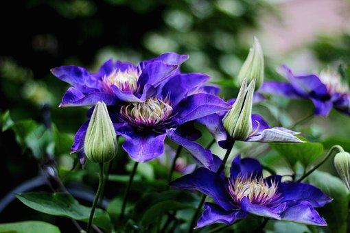 Clematis Multi Blue, Flower, Blue, Spring, Garden