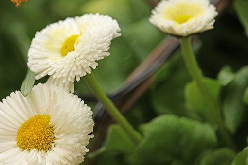 Tausendschön, Spring Flower, Garden, Daisy, Close Up