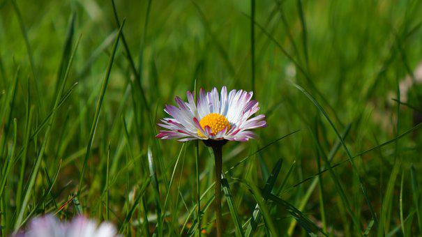 Nature, Plants, White, Flowers, Meadow, Daisy, Grass