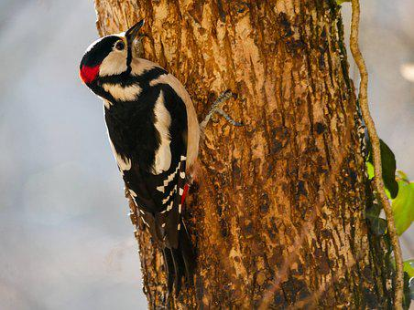 Animals, Bird, Woodpecker, Great Spotted Woodpecker
