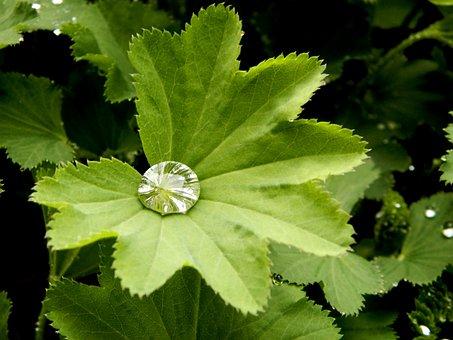 Alchemilka, Drop, Plant, Letter, Green, Garden, Wet