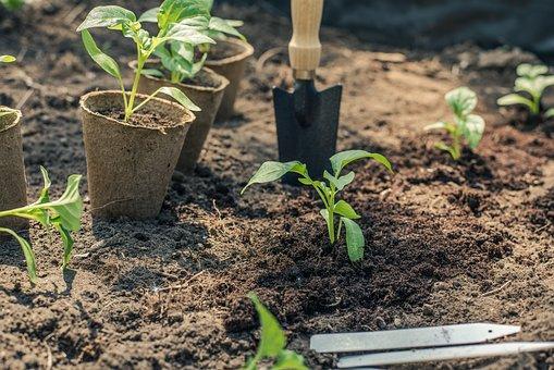 Pepper, Seedling, Planting, Garden, Gardening, Green