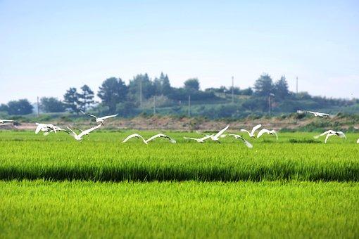 Hern, Rice Paddies, Rural, Landscape, Field