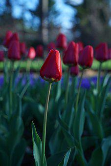 Tulips, Garden, Japan, Yurigahara, Nature, Bloom