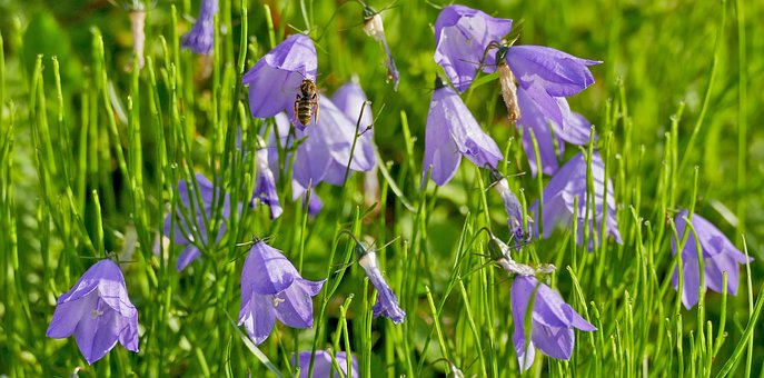 Landscape, Nature, Flowers, Bellflower