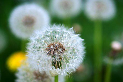 Dandelion, Close Up, Nature, Spring, Flower, Plant
