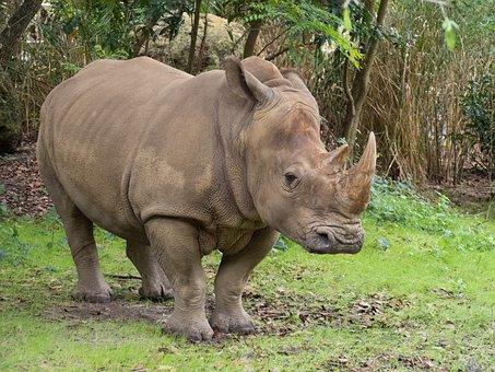 Rhino, Zoo, Rhinoceros, Mammal, Horn, Nature, Safari