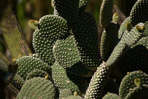 Cactus, Cactaceae, Opuntioideae, Opuntieae, Plant