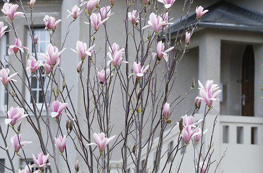 Magnolia, Spring Flowering, Pink, The Comfort Of Home