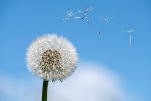 Dandelion, Spring, Seeds, Flower, Plant, Allergy, Air