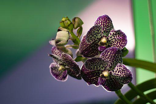 Orchid, Flower, Purple, Bloom, Blossom, Nature, Plant