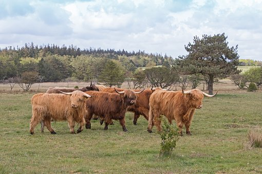 Cattle, Scottish, Highland Cattle, Long-haired, Brown