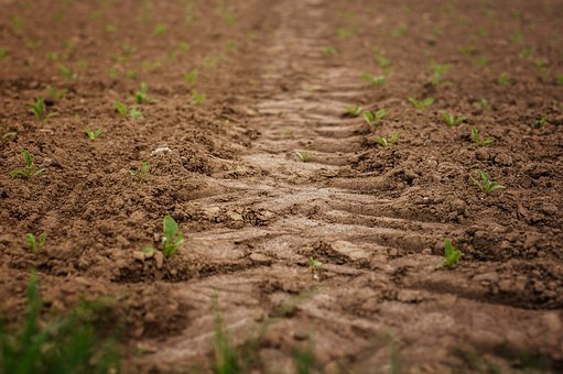 Field, Seedlings, Tire Track, Tractor Track, Sugar Beet