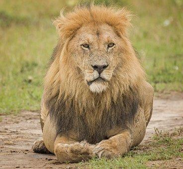 Lion, Mara Lion, Savannah, Cat, Serengeti, Hunter