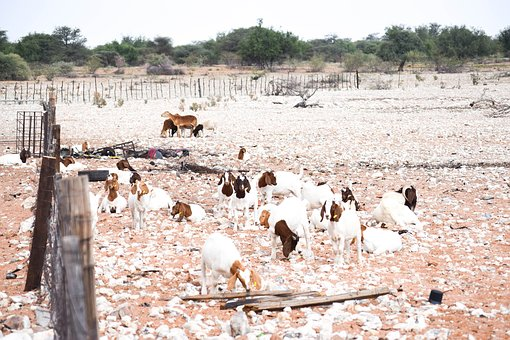 Farming, Goats, Animal, Livestock, Sheep
