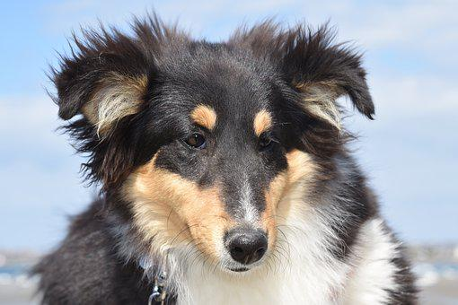 Dog, Dog Shetland Sheepdog, Shetland Sheepdog Tricolour