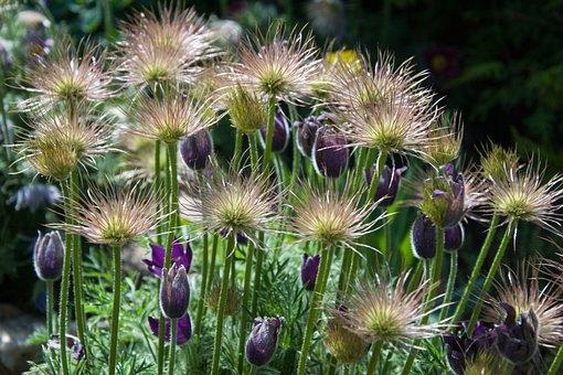 Pasque Flower, Odkvetlý, Spring, Flowering, Flowers