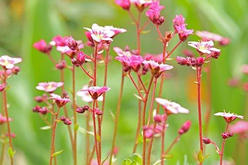 Soapwort, Spring Flower, Stone Bed, Stone Garden, Shrub