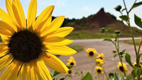 Sunflower, Sunflowers, Bloom, Yellow, Summer, Nature