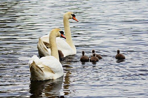 Swan, Water Bird, Animal, Cygnet, Chick, Young