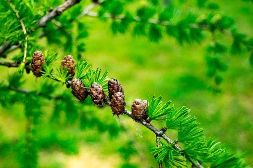 Larch, Larix, Tree, Forest, Needles, Coniferous