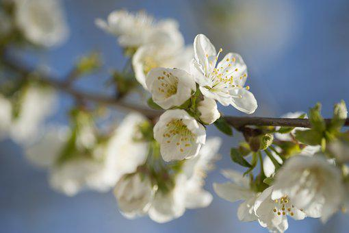 Spring, Tree, Nature, Branch, Blossom, Bloom, White