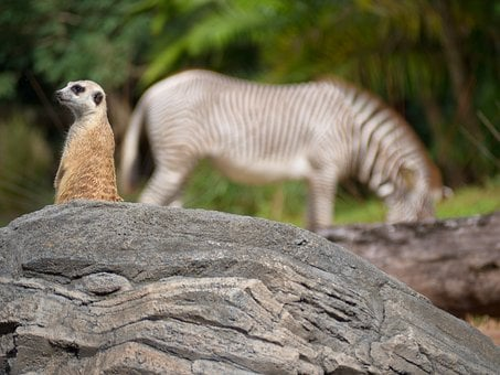 Meerkat, Zebra, Africa, Zoo, Animals, Nature, Watchful