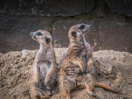 Meerkat, Animals, Animal World, Cute, Mammal, Zoo