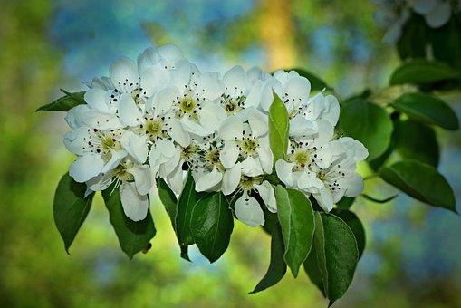 Apple Blossom, Flower, Branch, Tree, Leaves, Seasonal