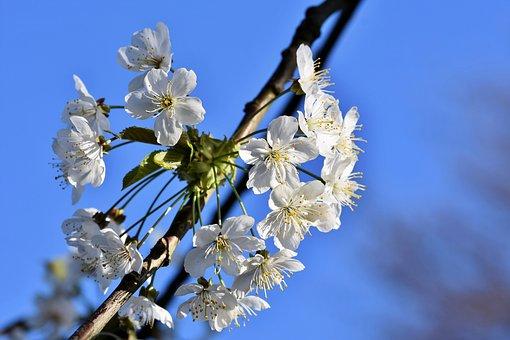 Apple Blossoms, Apple Tree, Apple Tree Flowers, Bloom
