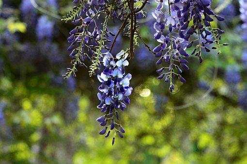 Wisteria, Shrub, Flower, Vine, Arbor, Petal, Spring
