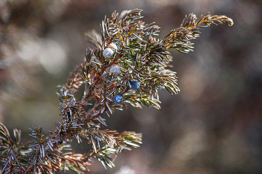 Canada, Berry, Ice, Winter, Frost, Plant, Blue