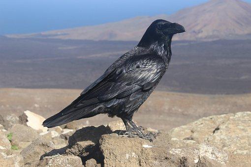 Canary Crow, Canary Islands, Lanzarote, Bird, Black