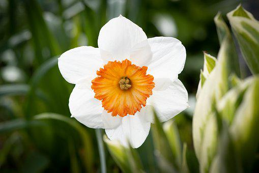 Narcissus, Flower, Blossom, Bloom, Garden, Spring