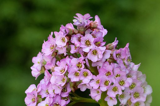 Flowers, Small, Pink, Flourishing, Blooms, Flower