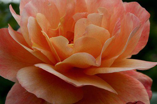 Rose, Blossom, Bloom, Salmon, Petals, Rose Bloom
