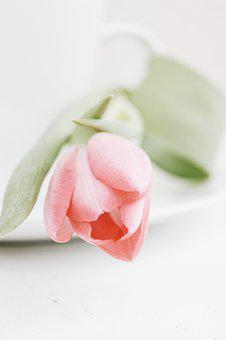 Tulips, Spring, Flowers, Nature, Pink, Plant, Blossom