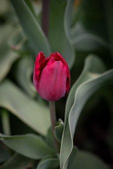 Tulip, Flower, Red, Blossom, Bloom, Garden