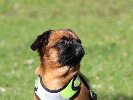 Dog, Breed, Brabancon, Pride, Emotions, Portrait, Eyes