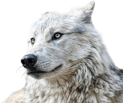 Wolf, Animals, Predator, Clipping, Graphics, Carnivore