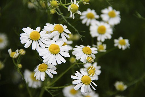 Flowers, Chamomile, Spring, Nature, Bloom, Flora