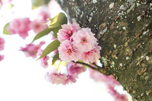 Cherry Blossom, Cherry Tree, Spring, Summer, Sun