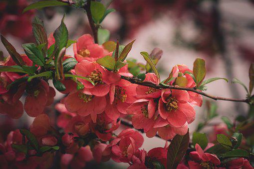 Flowers, Red, Branch, Bloom, Spring, Nature, Close Up