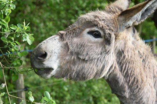 Donkey, Ass Croix Saint André, Donkey Of The Cotentin