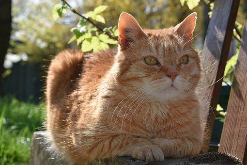 Cat, Roux, Feline, Animal, Tabby, Cats, Eyes, Lying