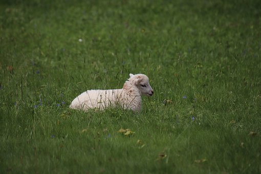 Lamb, Animals, Familiar, Cute, Farm, Wool, Livestock